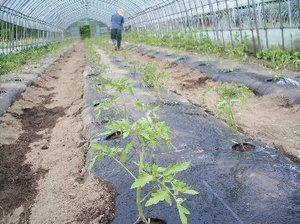 Tomatouetuke